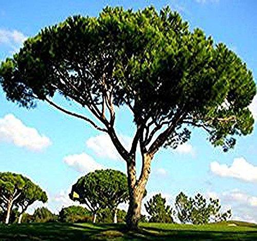 ITALIAN STONE PINE Tree Seed Seeds - Umbrella Pine Pinus pinea - EDIBLE PINE NUTS - Zones 7-11 - By MySeeds.Co (Italian Stone x 1 ()