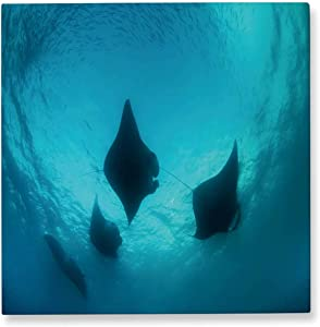 Pummelouty Manta Rays and Plankton Palau,Wall Art Decor for Living Room Micronesia Manta Ray Bathroom Pictures Wall Decor 8x8