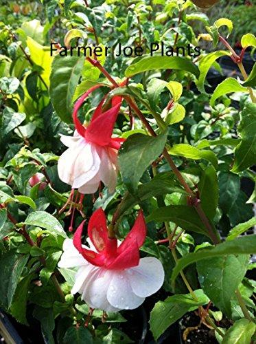 - FUCHSIA - ANGEL EARRINGS - DOUBLE RED - 2 PLANTS - 3