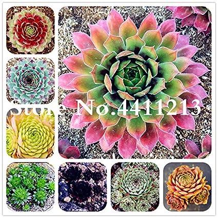 Amazon.com: 100 Pcs Rare Sempervivum Mix Succulent Bonsai ...