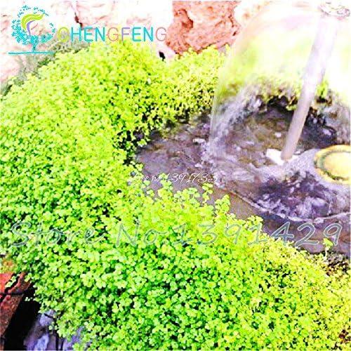 200 Semillas Las partículas de rocalla hierba verde fresca Escalada tradicional naturales de la planta Bonsai semilla mágica del jardín de flores: Amazon.es: Jardín