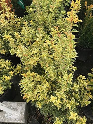 (Goshiki False Holly (Osmanthus heterophyllus 'Goshiki') )