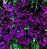 Purple 10-12 cm 30 Bulbs Gladiolus Flower Bulb - can be Used as a Flower Basket, Bouquet, Bottle Insert. Garden and Special Flower beds can be Arranged