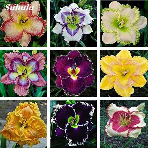 19 Pinkdose 100 PC//bolso h/íbrido Hemerocallis Hemerocallis Lirio Flores Bonsai exterior /& Amp; Suministros interiores SeedsPlant Home Garden para Tiesto