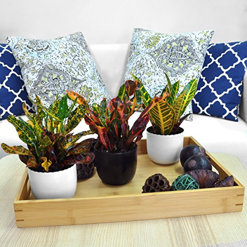 Costa Farms Exotic Angel Croton Live Indoor Plant, Grower's Choice Assortment, 4-Pack by Costa Farms (Image #4)