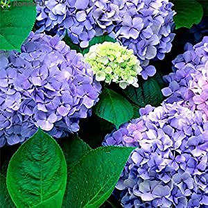 20pcs Hydrangea Flower Seeds Multi Color Wedding Party Flower Plants Home Garden Potted Flowers Seed