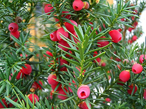 Yew Wood Furniture - Home Comforts LAMINATED POSTER Plant Nature Red Wood Yew Tree Fruit Fruits Berry Poster