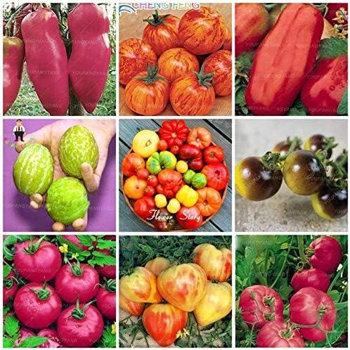 Pinkdose 500 Piezas de Tomate Arco Iris Bonsai Plantas de Tomate ...
