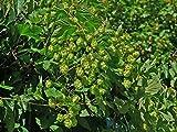 El Dorado Hop Seed * Bulk 100