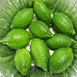 Finger Caviar Lime Tree - Fruiting Size-Inside/Out -NO Ship to TX,FL,AZ,CA,LA,HI
