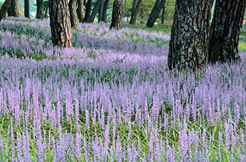 Cottage Hill 1 Piece Liriope Big Blue Evergreen Plant 3 Quart Trade