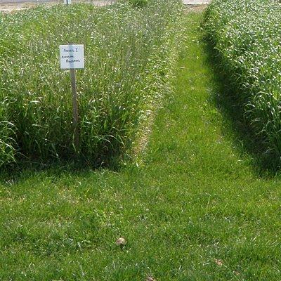 Annual Ryegrass Seeds