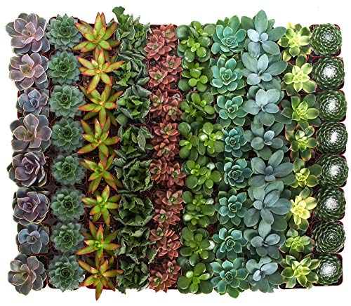 Shop Succulents | Assorted Collection of Live Succulent Plants, Hand Selected Variety Pack of Mini Succulents | Collection of 128]()