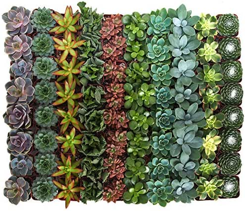 Shop Succulents | Assorted Collection of Live Succulent Plants, Hand Selected Variety Pack of Mini Succulents | Collection of 256