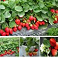 KOUYE GardenSeeds- 50 Pieces Climbing Strawberry 'Hummi', red Strawberries Fresca, Delicious Strawberry Trees Fast Growing Climbing Strawberry, Hardy Perennial Fruit Plant Seeds