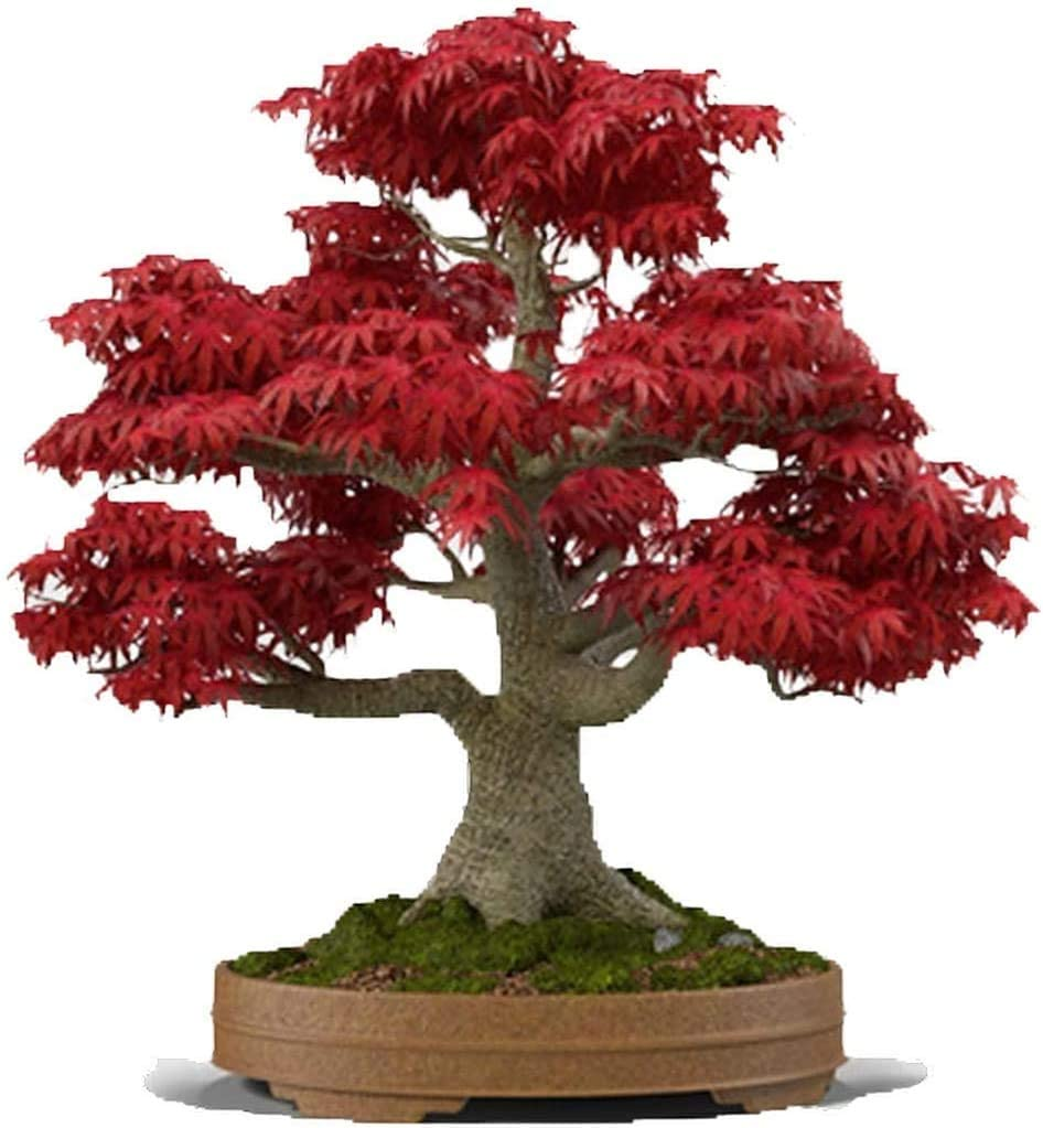Amazon Com Bonsai Tree Seeds Japanese Red Maple 20 Seeds Highly Prized For Bonsai Japanese Maple Tree Seeds Acer Palmatum 20 Seeds Garden Outdoor