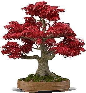 Bonsai Tree Seeds, Japanese Red Maple | 20+ Seeds | Highly Prized for Bonsai, Japanese Maple Tree Seeds (ACER palmatum) 20+Seeds