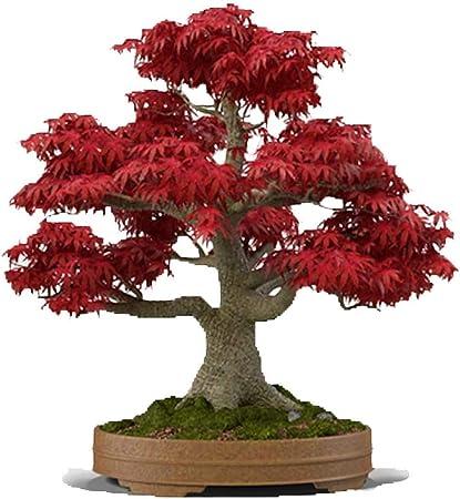 Amazon Com Bonsai Tree Seeds Japanese Red Maple 20 Seeds Highly Prized For Bonsai Japanese Maple Tree Seeds Acer Palmatum 20 Seeds Garden Outdoor