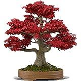 Bonsai Tree Seeds, Japanese Red Maple | 20+ Seeds | Highly Prized for Bonsai, Japanese Maple Tree Seeds (ACER palmatum) 20+Se