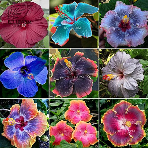 Cup and Saucer Vine Purple - 16 Seeds - Cobaea Scandens