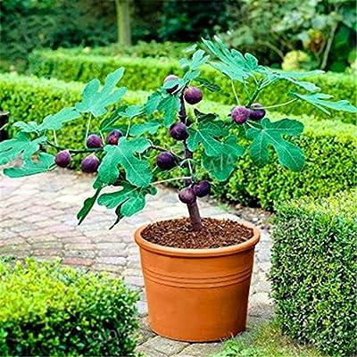 HOTUEEN 50pcs Fig Tropical Seeds Ficus Carica Seeds Bonsai Rare Fruit Seed Home Planting Bonsai : Garden & Outdoor