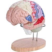 Akozon 3D Modelo de Cerebro Humano, 1: 2