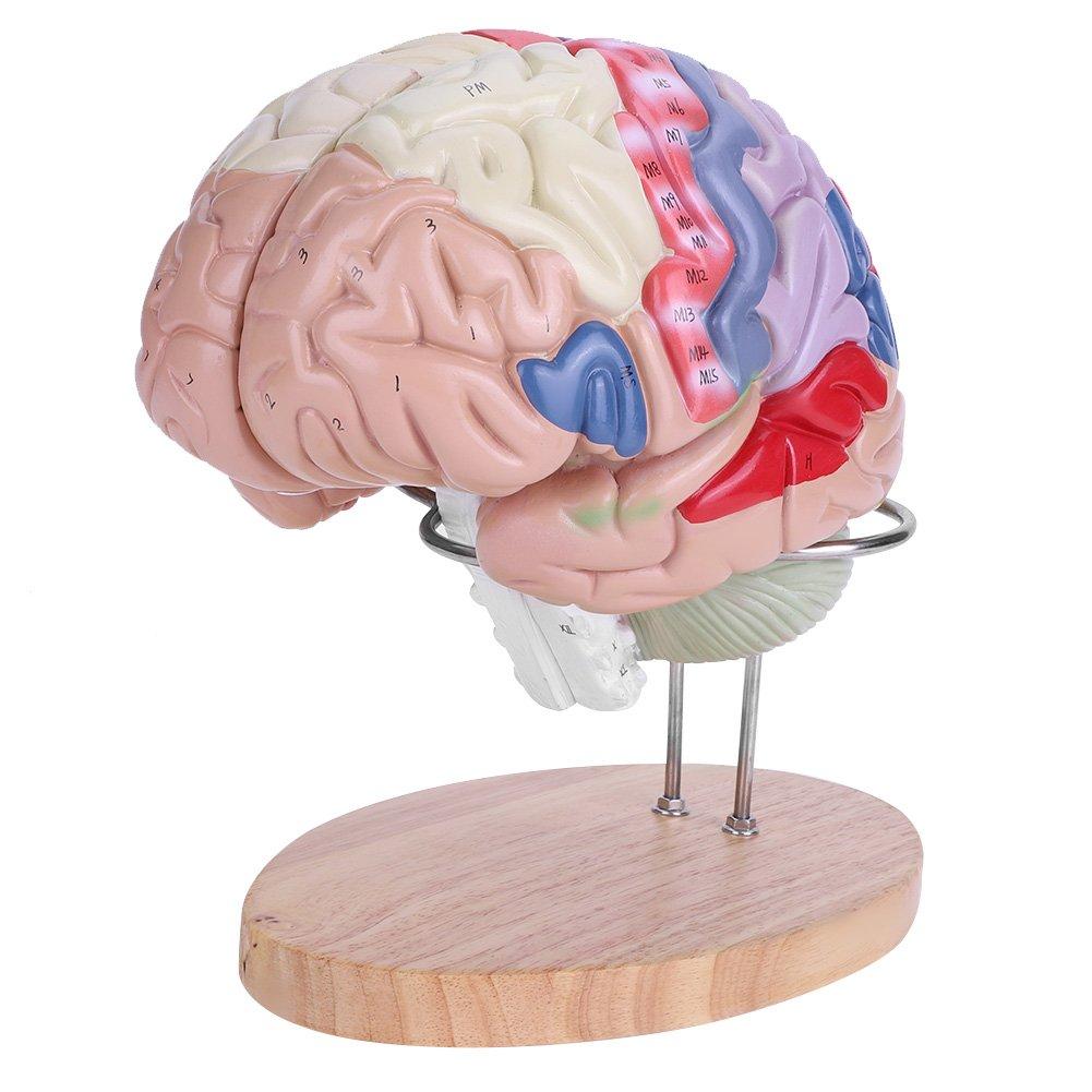 超激安 Akozon人間の脳モデル、カラーコーディング B07FDTMBFP、倍率2x 医学解剖学ヒューマンリージョナル脳モデル大脳皮質神経4部 B07FDTMBFP, 大進塗料店:9a3a1544 --- a0267596.xsph.ru