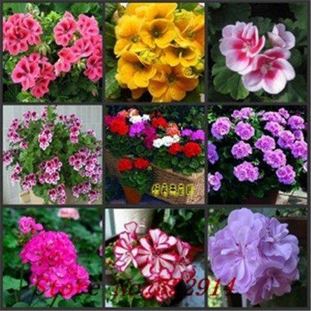 - Hot Sale garden pots & planters hanging Geranium seeds100 new imported flower seeds