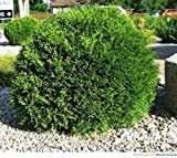 Little Giant Dwarf Arborvitae (thuja) - Live Plant - Quart Pot
