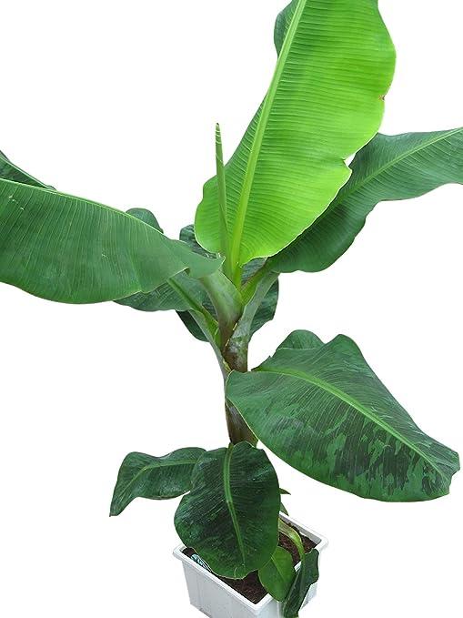plante dintrieur plante pour la maison ou le bureau musa cavendish nain