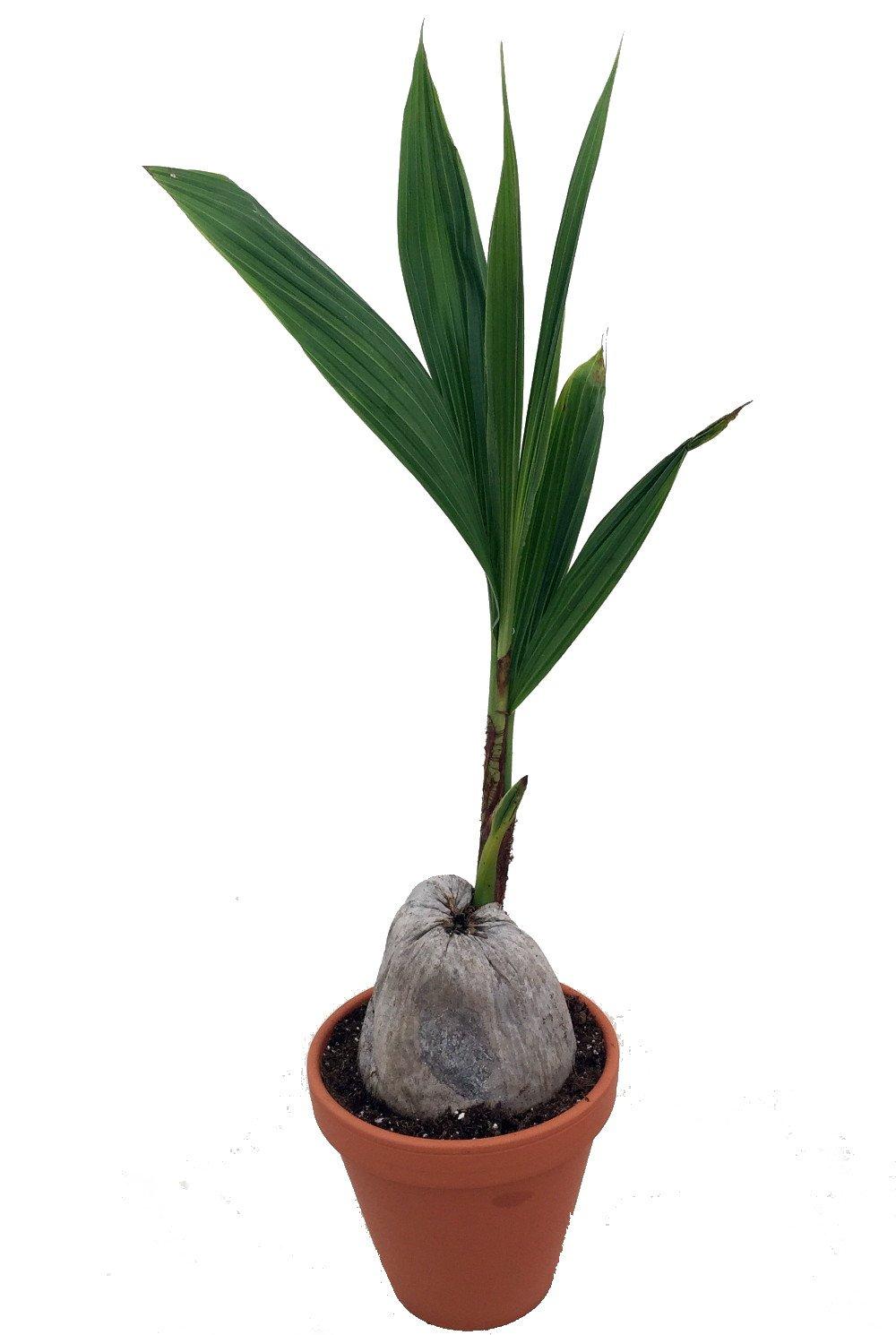 Malayan Dwarf Coconut Palm - Cocos nucifera - 6'' Clay Pot - Easy to Grow
