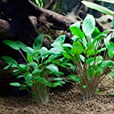3 x bunch of Cryptocoryne, Cryptocoryne mix, different types for fish tank