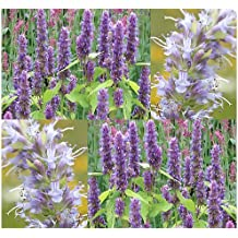 400 x Anise Hyssop Seeds - Herb - Lavender Licorice Mint - PERENNIAL - Blue Giant Hyssop GREAT AS TEA & NECTAR FOR HONEY BEES - Perennial In Zones 4-9 - By MySeeds.Co
