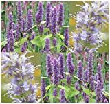 4 Packs x 400 Anise Hyssop Seeds - Herb - Lavender Licorice Mint - PERENNIAL - Blue Giant Hyssop GREAT AS TEA & NECTAR FOR HONEY BEES - Perennial In Zones 4-9 - By MySeeds.Co