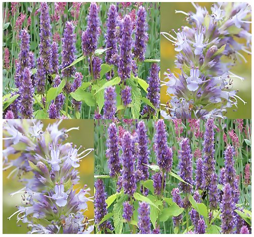 (400 x Anise Hyssop Seeds - Herb - Lavender Licorice Mint - PERENNIAL - Blue Giant Hyssop GREAT AS TEA & NECTAR FOR HONEY BEES - Perennial In Zones 4-9 - By MySeeds.Co)