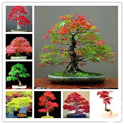 50 Canada Mini Red Maple Bonsai Garden DIY Bonsai Maple Tree Plant #wc9ton