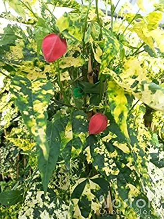 Abutilon Megapotanicum Variegata Amazoncouk Garden Outdoors