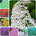 Seed House-KOUYE 100 Scented upholstered Thyme Flower Carpet Rock cress Seeds Lemon Thyme Hardy Perennial Flower sea Lemons Thyme Plants Ground Cover bee-Friendly Flowers Seed Summer Beet rockeries