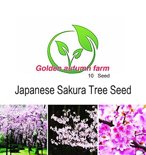 Autumn Cherry Tree (Golden autumn farm- 10 JAPANESE CHERRY TREE Pink Cloud Oriental Sweet Prunus Serrulata Flower Seeds)