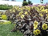Starter Plant - Dahlia 'Mystic Illusion'