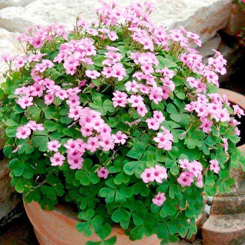 30 Pink Pillow Shamrock Bulbs not plant- Indoors/Out - Oxalis articulata A Wooded square pot included by EGBULBS