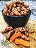 10 Fresh Turmeric Rhizomes / Turmeric Roots for Growing Plants - Curcuma longa