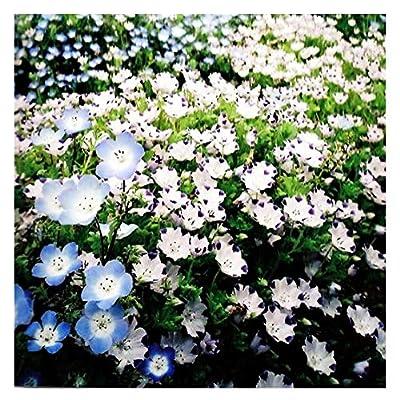 1, 000 Five Spot Wildflower Seeds - Nemophila Maculata - Seed : Garden & Outdoor