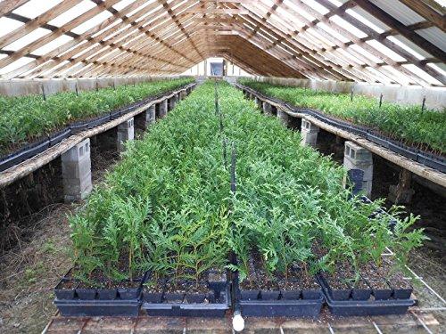 25 Green Giant ArborvitaeThuja Plicata 3 inch pot by sanjoes