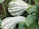 30 Green Striped cushaw Winter Squash Seeds. Heirloom.Same Day Shipping