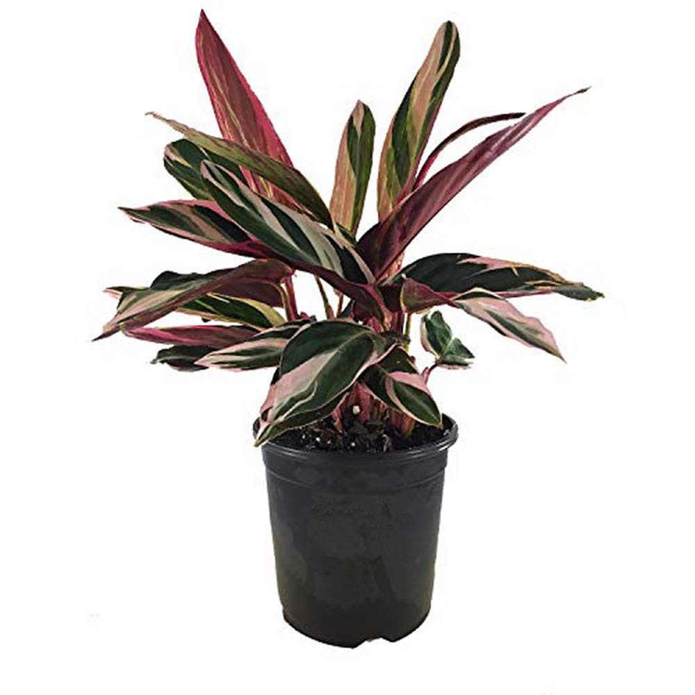 AMERICAN PLANT EXCHANGE Tricolor Stromanthe Easy-to-Grow Live Prayer Plant, 6'' Pot, Indoor/Outdoor Air Purifier!