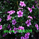 Yellow : Sale! 100 Periwinkle Seeds, Mix Color