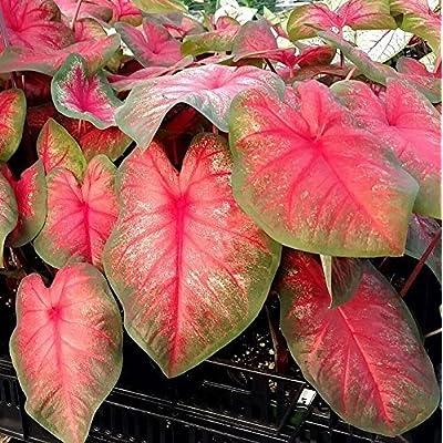 Caladium, Tequila Sunrise, 3 Bulbs fancy leaf Elephant Ears : Garden & Outdoor