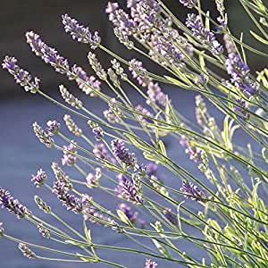 """Findlavender - Lavender PLATINUM BLONDE (Blue Flowers) - 4"""" Size Pots - Zones 5 - 10 - Bee Friendly - Attract Butterfly - Evergreen Plant - 1 Live Plant"""