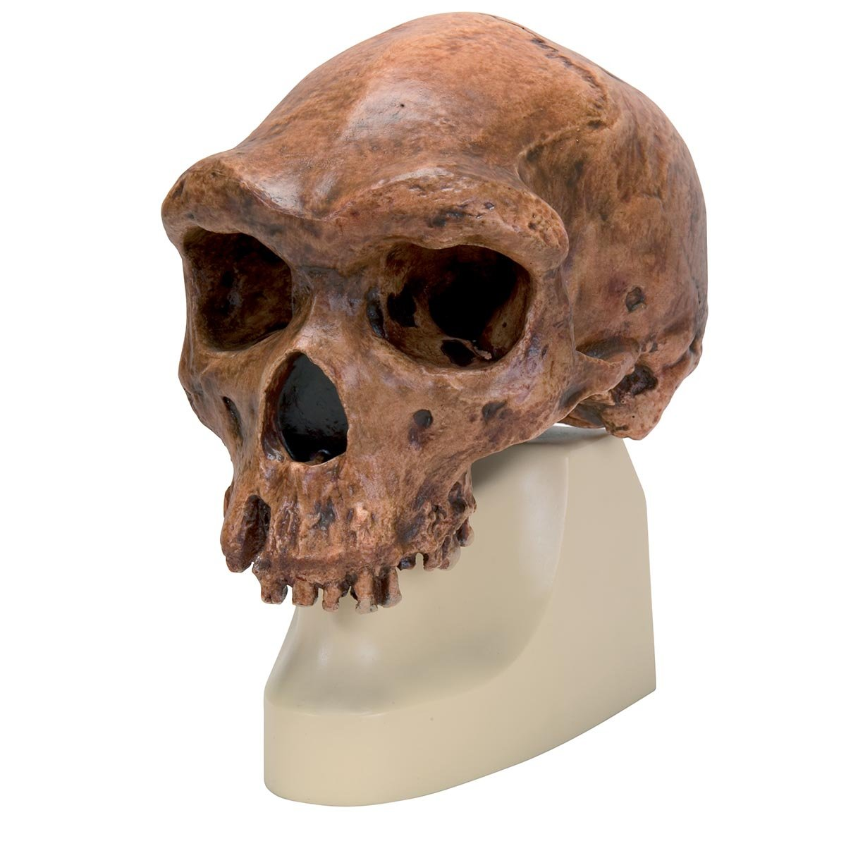3B Scientific VP754/1 Ré plica del Crá neo del Homo Rhodesiensis, Broken Hill, Woodward, 1921 3B Scientific GmbH